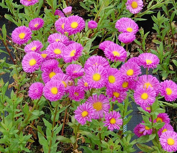 1 x Erigeron Foersters Liebling - 9cm Pot - PRE-ORDER NOW FOR SPRING DELIVERY