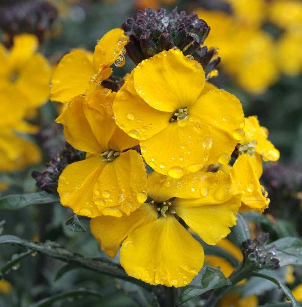 1 x ERYSIMUM Fragrant Sunshine - 9cm Pot - PRE-ORDER NOW FOR SPRING DELIVERY