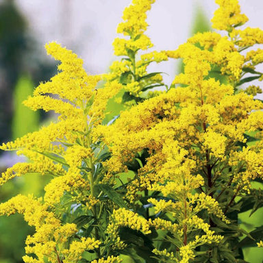 1 x SOLIDAGO Goldkind - 9cm Pot - PRE-ORDER NOW FOR SPRING DELIVERY