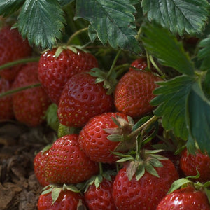 1 x Straw Red Gauntlet - Fragaria ananassa - 9cm Pot