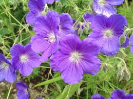 1 x Geranium 'Orion' - 9cm Pot - PRE-ORDER NOW FOR SPRING DELIVERY
