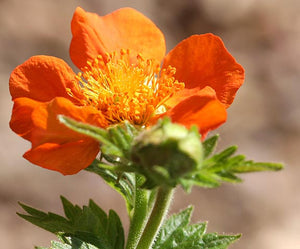 1 x Geum coccineum Queen of Orange - 9cm Pot