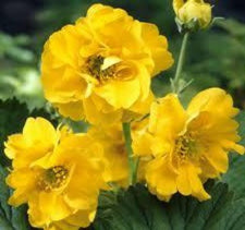 1 x Geum chiloense 'Lady Stratheden' - 9cm Pot