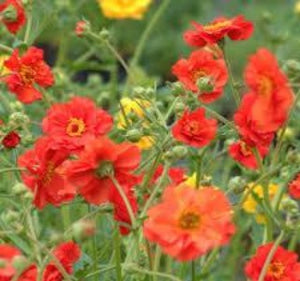 1 x Geum chiloense 'Mrs Bradshaw' - 9cm Pot