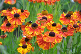 1 x Helenium 'Moerheim Beauty' - 9cm Pot - PRE-ORDER NOW FOR SPRING DELIVERY