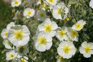1 x HELIANTHEMUM The Bride - 9cm Pot