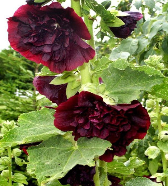1 x ALCEA (Hollyhock) Chaters Double Purple - 9cm Pot