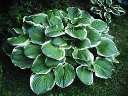 1 x Hosta 'Christmas Tree' - 9cm Pot