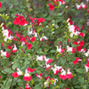 1 x Salvia xj. 'Hot Lips' - 9cm Pot