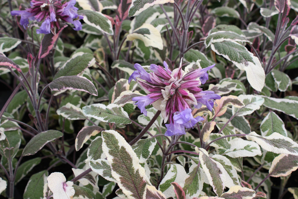 1 x Sage Tricolor - 9cm Pot - PRE-ORDER NOW FOR SPRING DELIVERY