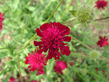 1 x Knautia macedonica - 9cm pot - PRE-ORDER NOW FOR SPRING DELIVERY