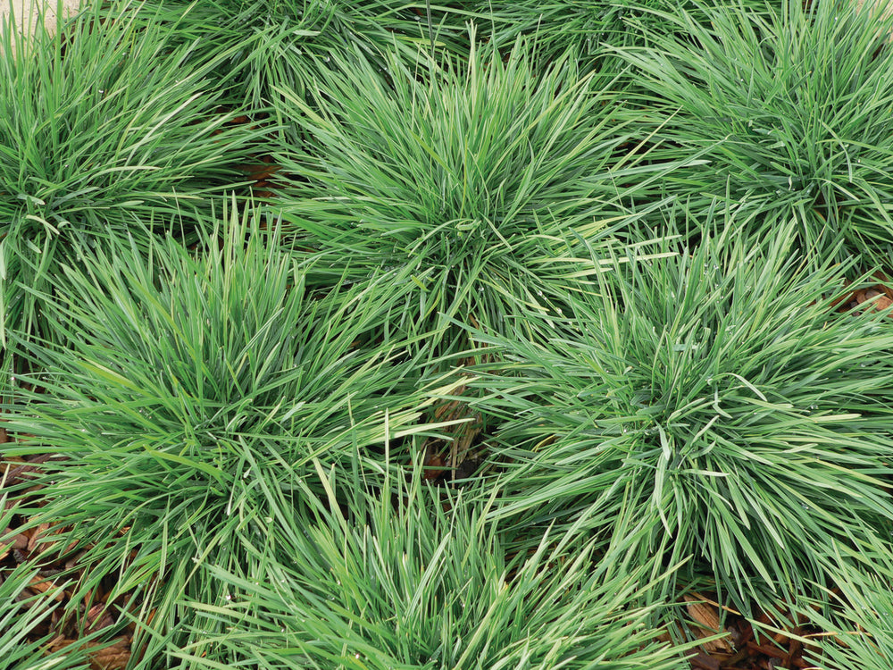 1 x KOELERIA ColorGrass Coolio - 9cm Pot - PRE-ORDER NOW FOR SPRING DELIVERY