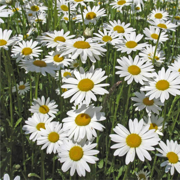 1 x LEUCANTHEMUM vulgare May Queen - 9cm Pot
