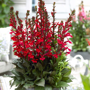 1 x LOBELIA FAN SCARLET - 9cm Pot