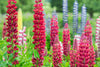 1 x Lupinus Russell Hybrids My Castle (Brick Red) - 9cm Pot