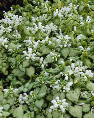 1 x LAMIUM maculatum White Nancy - 9cm Pot