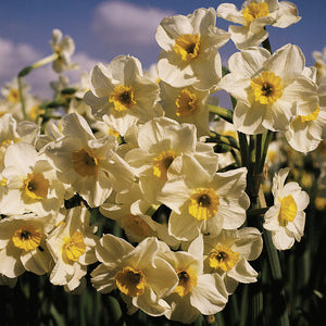 NARCISSI Laurens Koster - Potted Bulbs - 9cm Pot