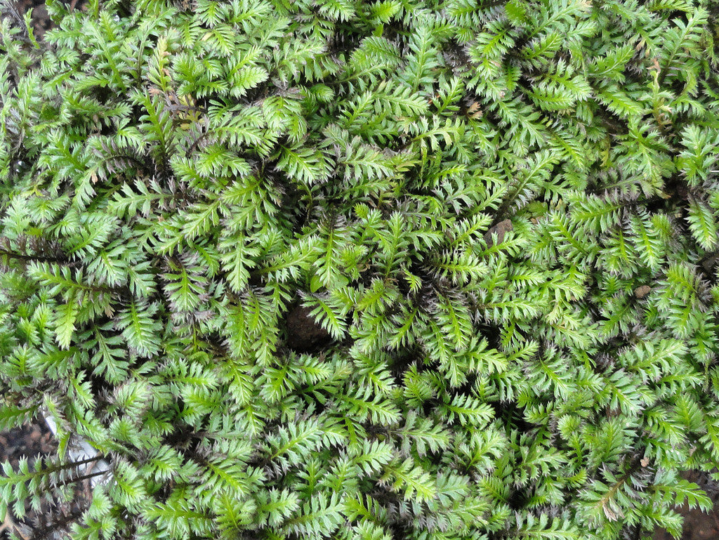 1 x LEPTINELLA squalida - 9cm Pot - PRE-ORDER NOW FOR SPRING DELIVERY