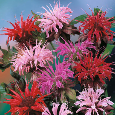 1 x Monarda Didyma Mixed - 9cm Pot - PRE-ORDER NOW FOR SPRING DELIVERY