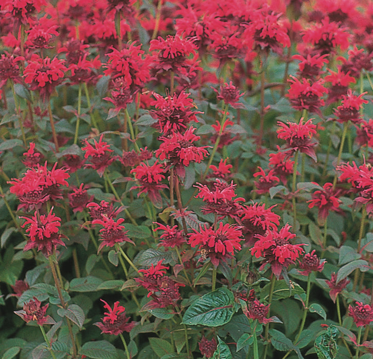 1 x MONARDA didyma Red Shades - 9cm Pot - PRE-ORDER NOW FOR SPRING DELIVERY