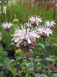 1 x Monarda 'Fishes' - 9cm Pot - PRE-ORDER NOW FOR SPRING DELIVERY