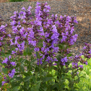 1 x Nepeta 'Blue Dragon' - 9cm Pot