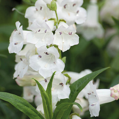 1 x PENSTEMON Snow Storm - 9cm Pot - PRE-ORDER NOW FOR SPRING DELIVERY