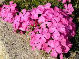 1 x Phlox subulata McDaniels Cushion - 9cm Pot
