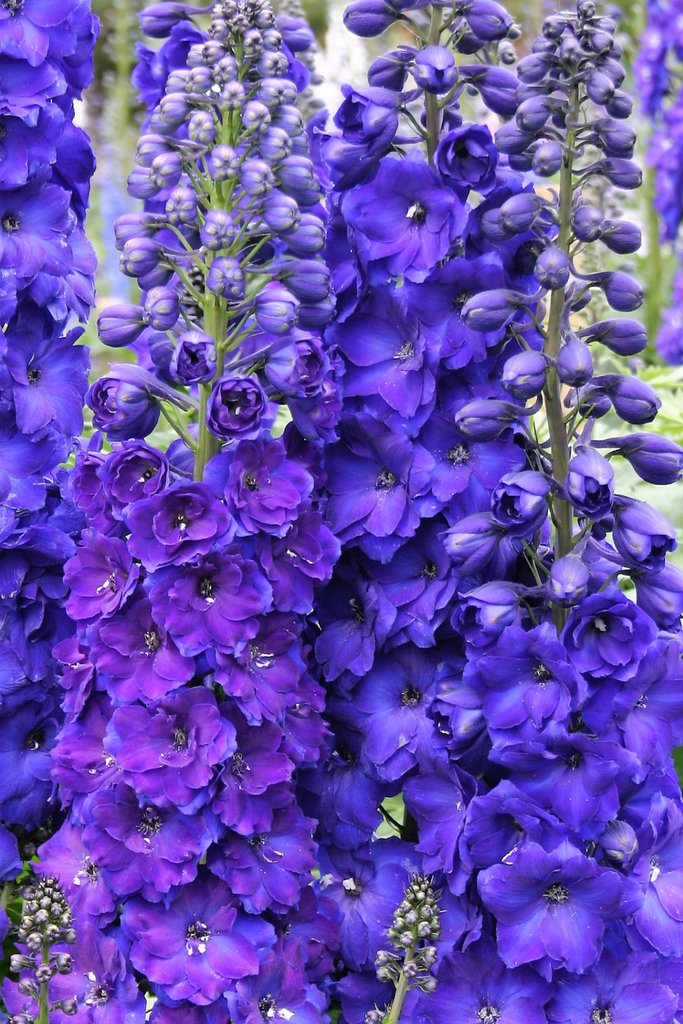 1 x Delphinium Pagan Purples - 9cm Pot - PRE-ORDER NOW FOR SPRING DELIVERY