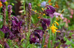 1 x PENSTEMON Raven - 9cm Pot
