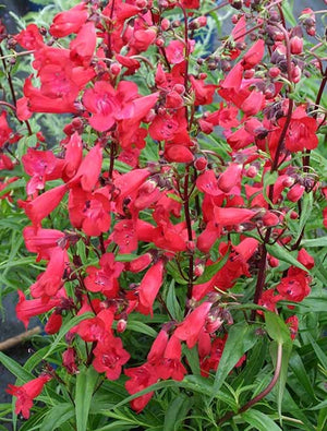 3 x Penstemon Firebird - 1 Litre Pot