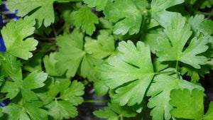 1 x Parsley G Italian - Petroselinum crispum - 9cm Pot