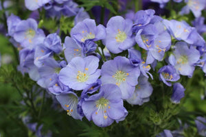 1 x Polemonium 'Northern Lights' - 9cm Pot