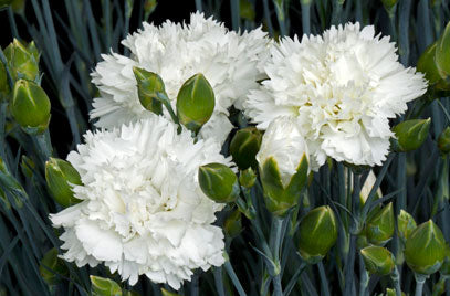 1 x Dianthus Memories – 9cm Pot - PRE-ORDER NOW FOR SPRING DELIVERY