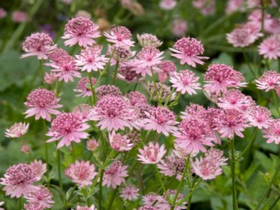 1 x Astrantia  Roma - 9cm Pot - PRE-ORDER NOW FOR SPRING DELIVERY