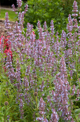 1 x Nepeta longipes ('Leeds Castle') - 9cm Pot