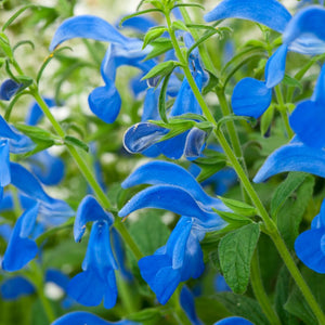 1 x SALVIA patens Patio Dark Blue - 9cm Pot