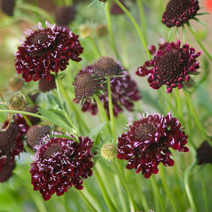 1 x SCABIOUS Chile Black - 9cm Pot