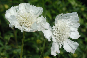 1 x Scabiosa caucasica 'Miss Willmott' - 9cm Pot