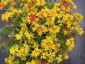 1 x SEDUM kamtschaticum Weihenstephaner Gold - 9cm Pot