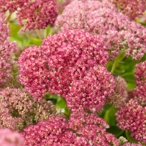 1 x SEDUM spectabilis Autumn Joy - 9cm Pot