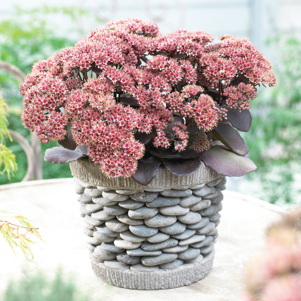 1 x SEDUM telephium Seduction Red - 9cm Pot