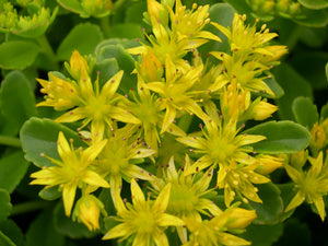 1 x SEDUM floriferum golden yellow - 9cm Pot