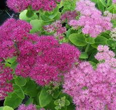 1 x Sedum spectabile 'Brilliant' - 9cm Pot