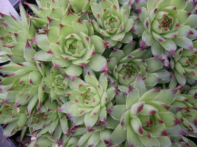 1 x SEMPERVIVUM Calcureum Quilliames - 9cm Pot