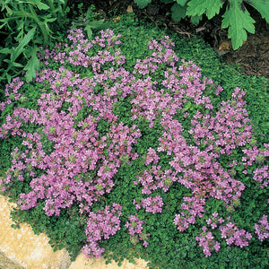 1 x THYMUS Creeping red - 9cm Pot
