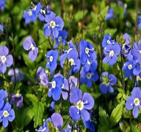 1 x Veronica 'Georgia Blue' - 9cm pot - PRE-ORDER NOW FOR SPRING DELIVERY