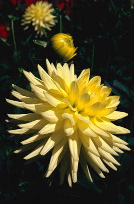 1 x Dahlia 'Lemon Elegans' - 9cm Pot
