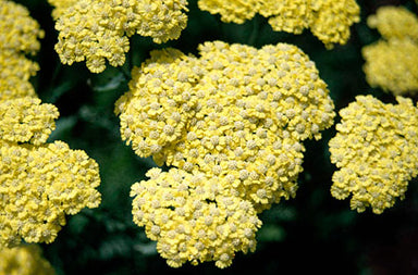 1 x Achillea Martina - 9cm Pot - PRE-ORDER NOW FOR SPRING DELIVERY