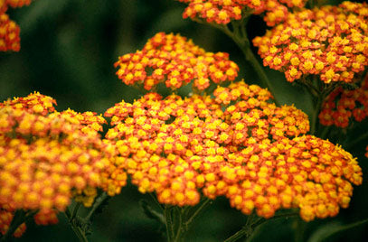 1 x Achillea 'Walther Funcke'  - 9cm Pot - PRE-ORDER NOW FOR SPRING DELIVERY